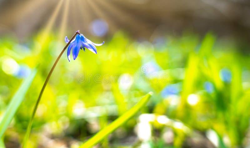 Primrose, Scilla spring flower under warm rays of spring sunlight, Easter card. Primrose, Scilla spring flower under warm rays of spring sunlight, Easter card royalty free stock image