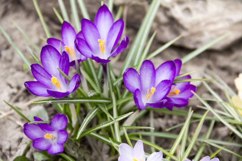Primrose. Spring. Blue crocuses in the flower bed royalty free stock photography