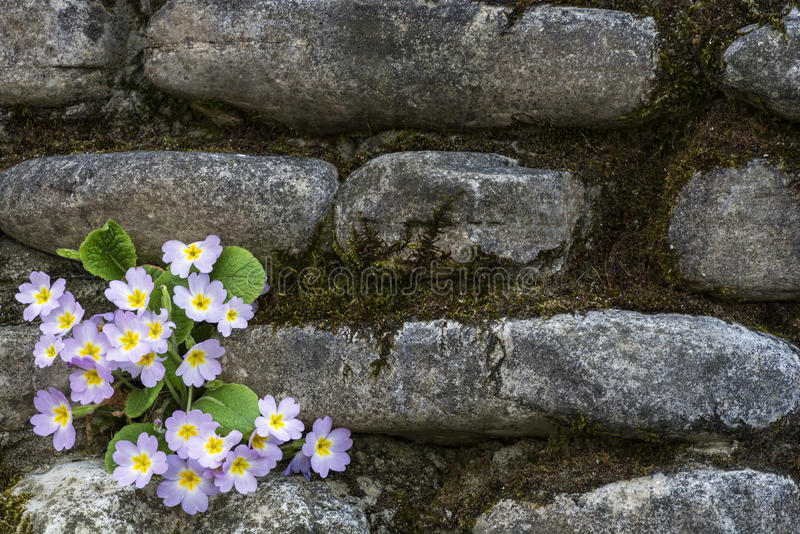 Download Primrose. stock photo. Image of outdoors, objects, gardening - 90233110