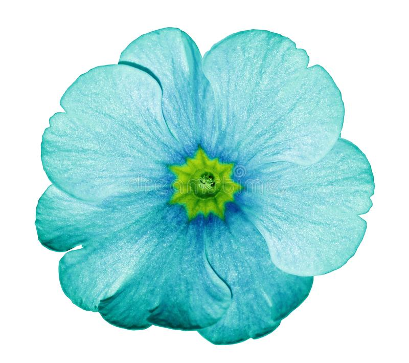 Primrose turquoise. Flower on isolated white background with clipping path without shadows. Close-up. For design. Nature stock images