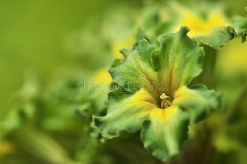 Primrose verde exótico Francesca fotos de stock