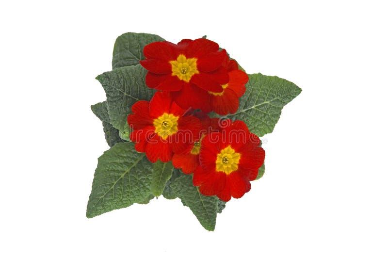 Primrose vermelho fotografia de stock royalty free