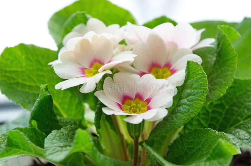 Primrose vulgaris Primula vulgaris close-up stock foto