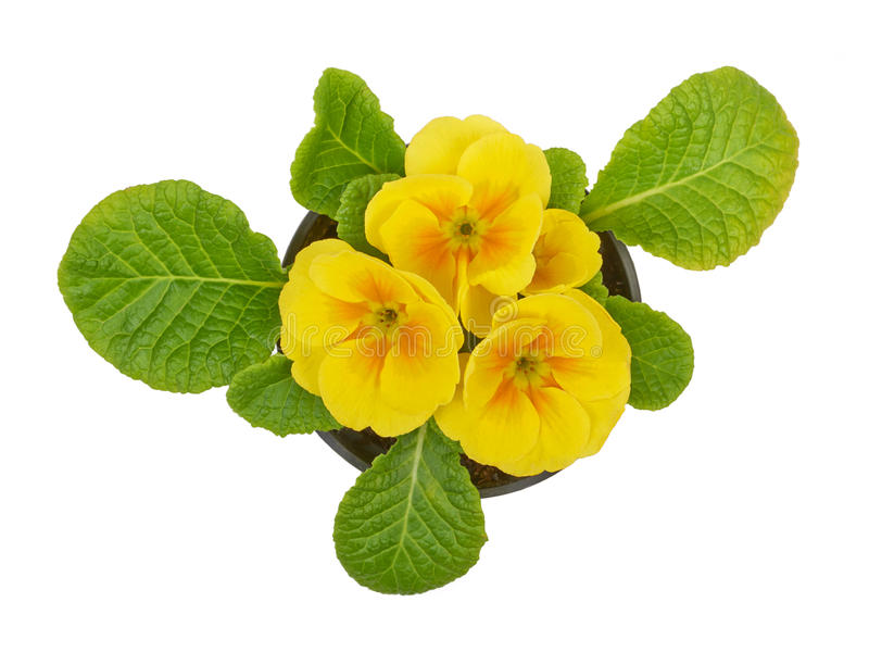Primrose yellow flower violet stock photo