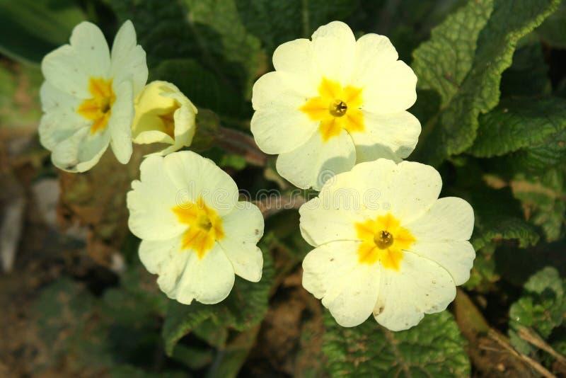 primroses στοκ εικόνες