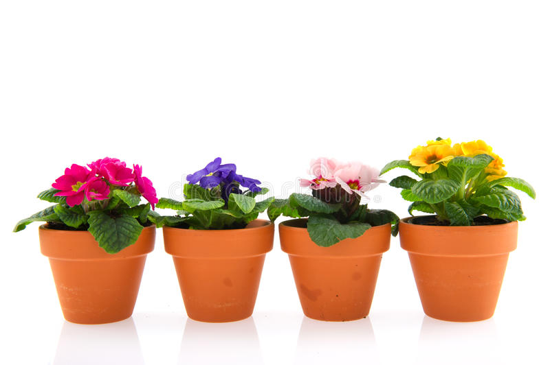 Download Primroses In Earthenware Flower Pots Stock Photo - Image: 18221078