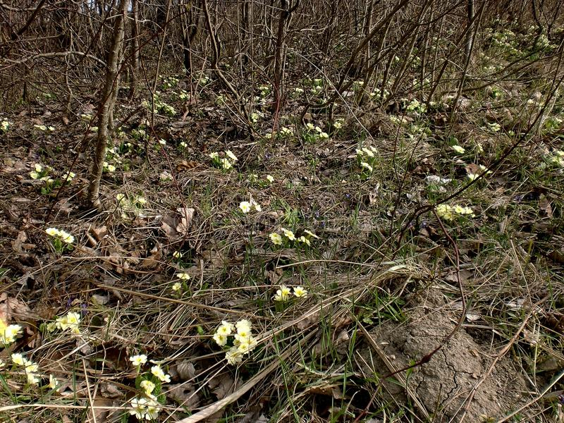 Primroses among trees stock images