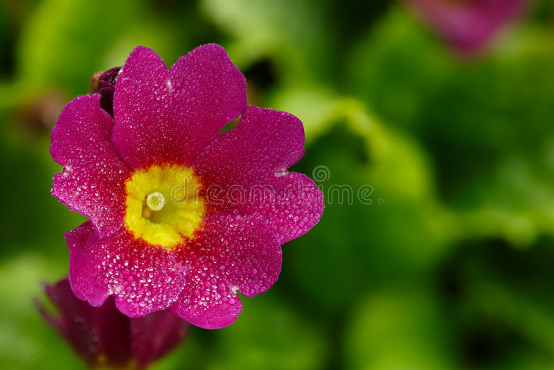 primula Λουλούδι κήπων στοκ φωτογραφία