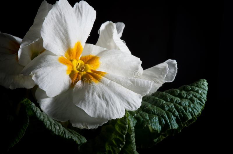 Primula, или цветене с падениями воды, макрос первоцвета стоковое фото rf