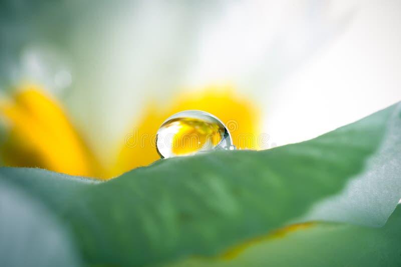 Primula, или цветене с падениями воды, макрос первоцвета стоковая фотография