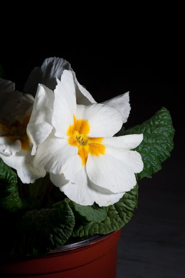 Primula, или цветене с падениями воды, макрос первоцвета стоковые фото