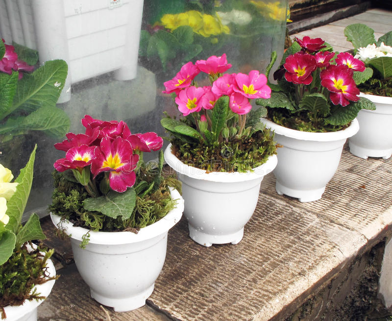 Primula Stock Photography