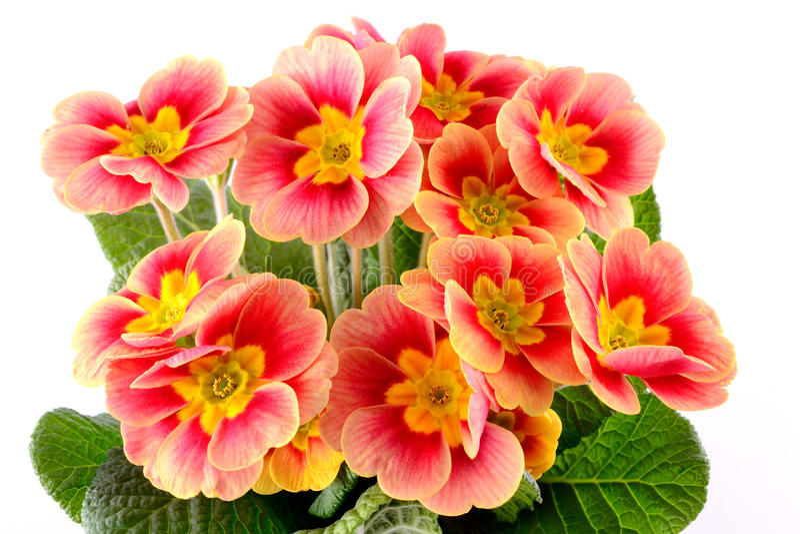 Primula royalty-vrije stock afbeelding