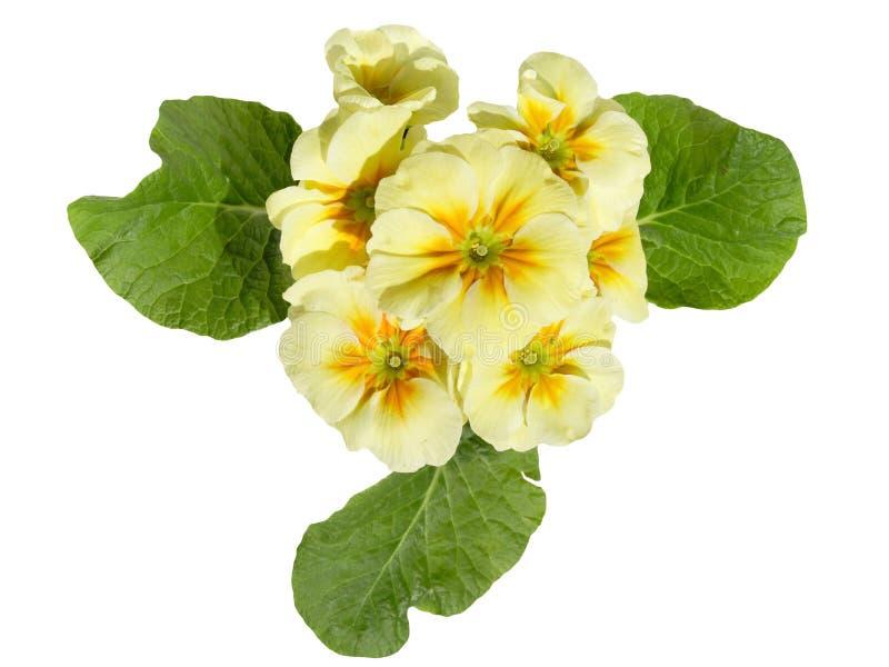Primula stock afbeelding