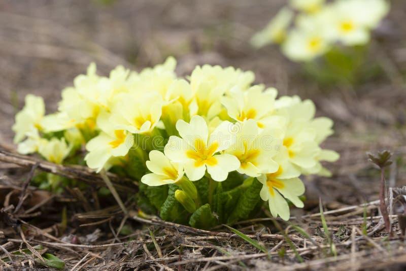 Primula acaulis, młode flance halna wiosna kwitną na plataue Ai Petri zdjęcia royalty free