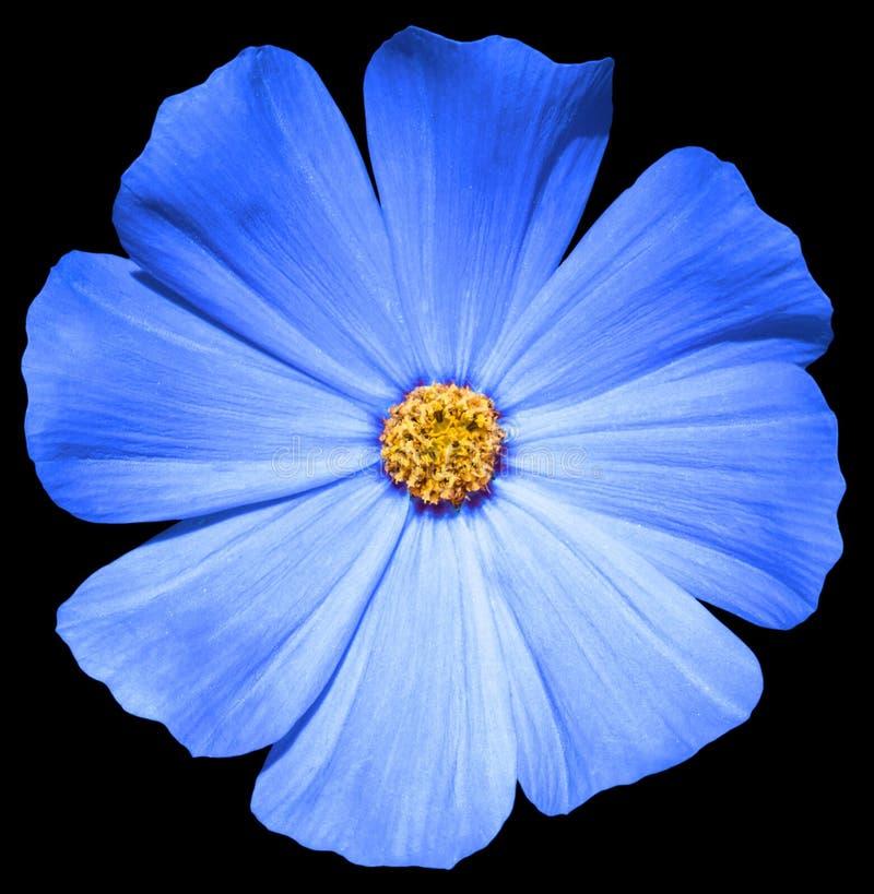 Download Primula Blu Del Fiore Isolata Immagine Stock - Immagine di vernice, closeup: 56893379