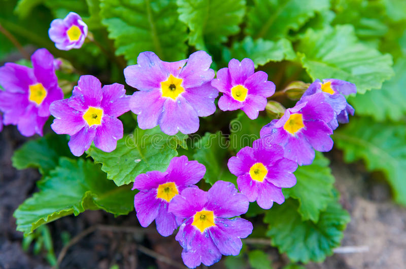 Primula. The Primula, colorful spring flowers royalty free stock photography