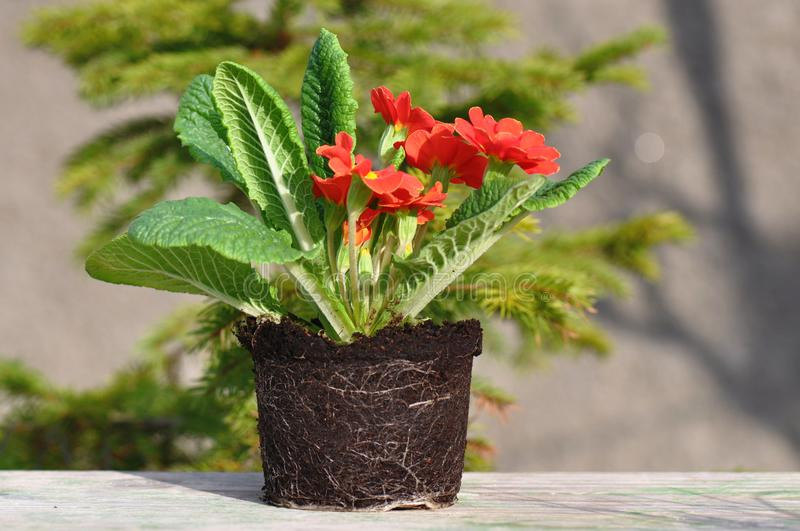 Primula flower with roots stock photography