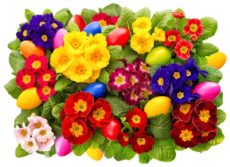 Primula flowers with easter eggs decoration. Spring blossoms. Primula flowers with easter eggs decoration isolated on white background. Spring blossoms stock images