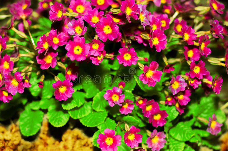 Primula Julia Polyanthus. Flower primrose. Pink flowers primrose. Purple primula or pruhoniciana with yellow pith. stock photo