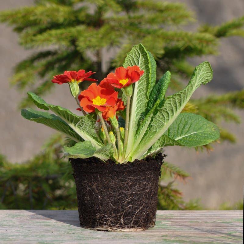 Primula kwiat z korzeniami fotografia stock