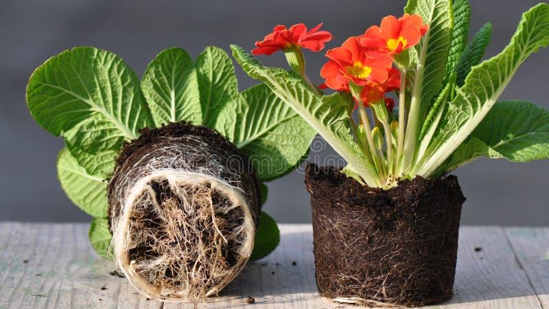 Primula kwiat z korzeniami zdjęcie royalty free