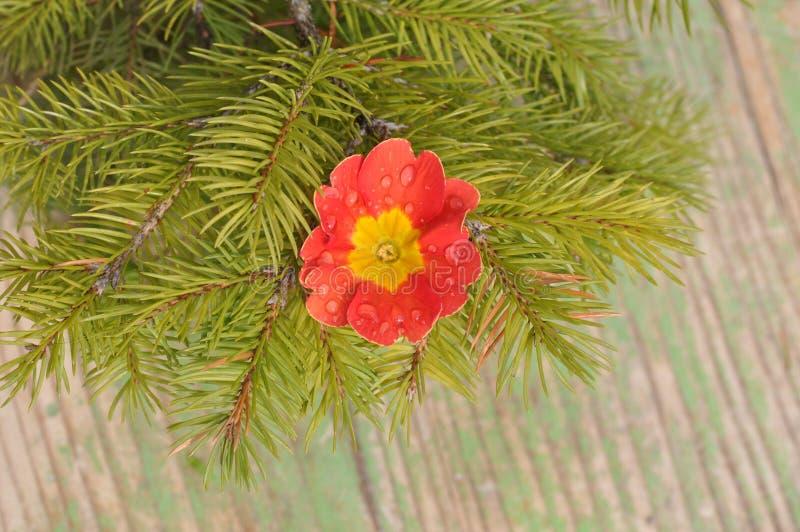 Primula kwiatu szczegół z wodnymi kroplami fotografia stock