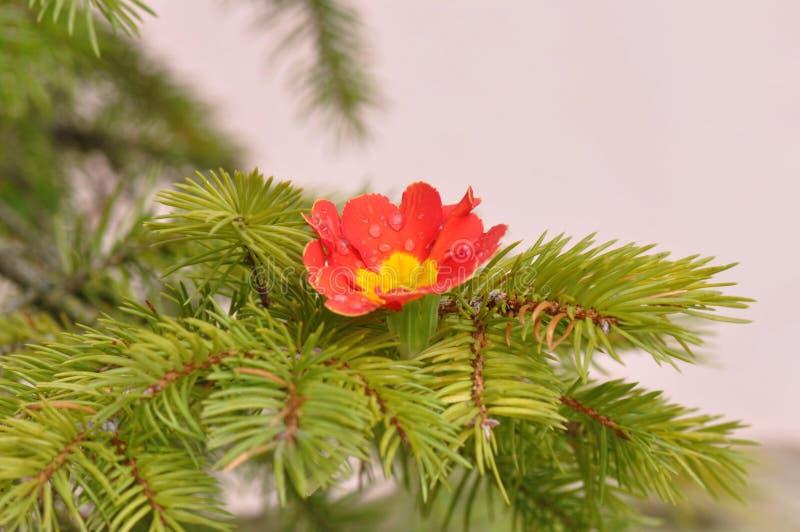 Primula kwiatu szczegół z wodnymi kroplami zdjęcia royalty free