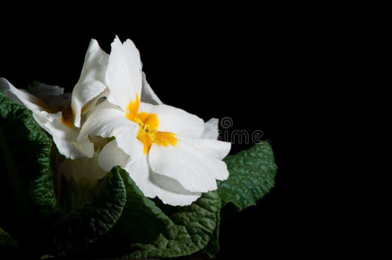 Primula lub pierwiosnkowy kwiat z wodnymi kroplami, makro- fotografia royalty free