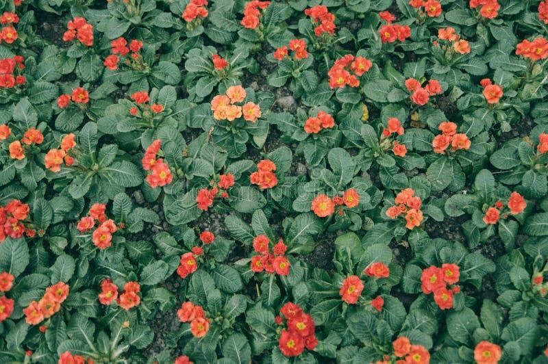 Primula malacoides royalty-vrije stock foto's