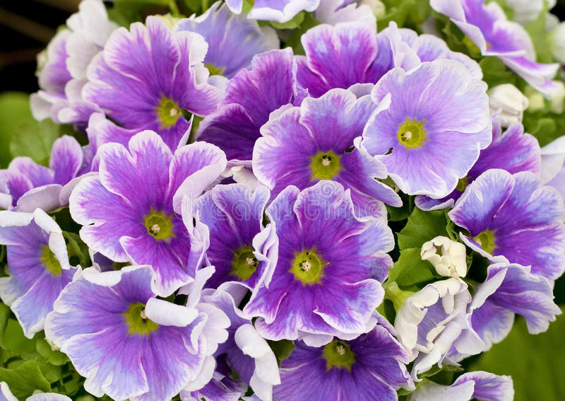 Download Primula Obconica Royalty Free Stock Photo - Image: 13200145