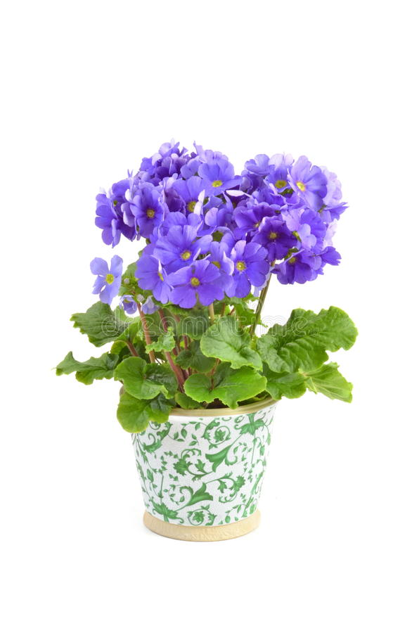 Free Primula Obconica Royalty Free Stock Photos - 30444208