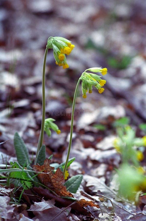 Download Primula Officinalis Royalty Free Stock Image - Image: 8898766