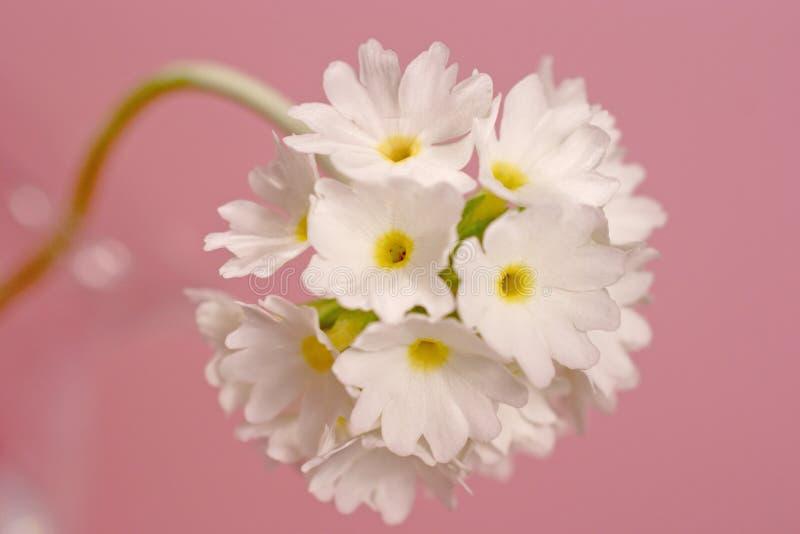 Primula op roze stock afbeeldingen