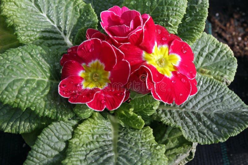 primula primrose Prímula da flor da mola com as folhas verdes no fundo branco Ideia de cima do teste padrão floral Ornamen imagem de stock royalty free