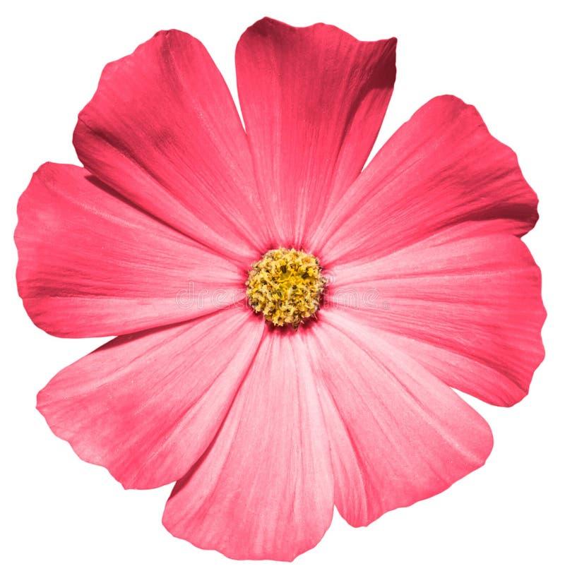 Download Primula Rossa Del Fiore Isolata Fotografia Stock - Immagine di foglio, macro: 56893352