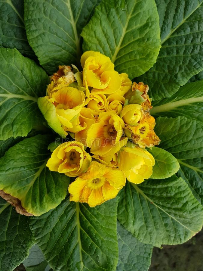 Primula with small yellow flowers in the center of the green leaves download primula with small yellow flowers in the center of the green leaves stock image mightylinksfo