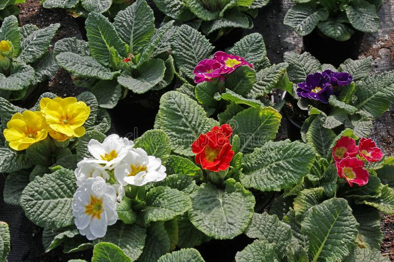 Primula. Spring flower red, yellow, pink, purple, violet and blue Primula with green leafs and water drops. View from above of flo. Ral pattern. Ornamental royalty free stock photos
