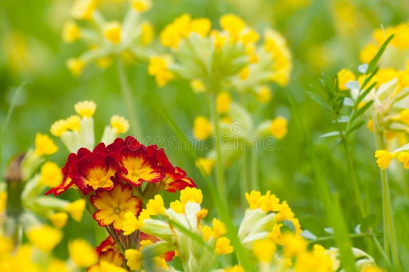 Primula Vera in de lente stock afbeeldingen