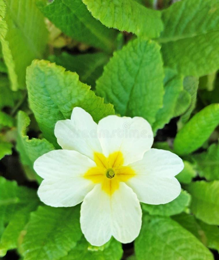 Primula veris cowslip także dzwoniący kwiat Biali płatki i żółty pollen zdjęcie royalty free
