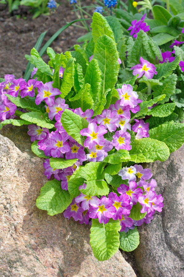 Primula vulgaris in un'aiola immagine stock