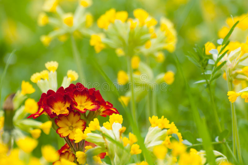 Primula w wiosna Vera obrazy stock