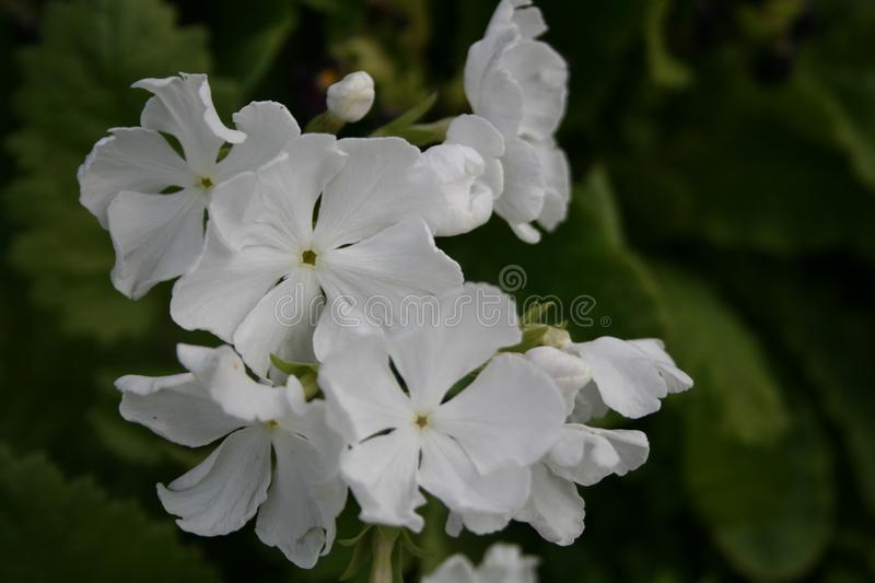 Primula, white flowers royalty free stock photo