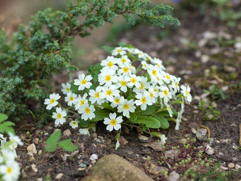 Primulabloemen in de tuin stock fotografie
