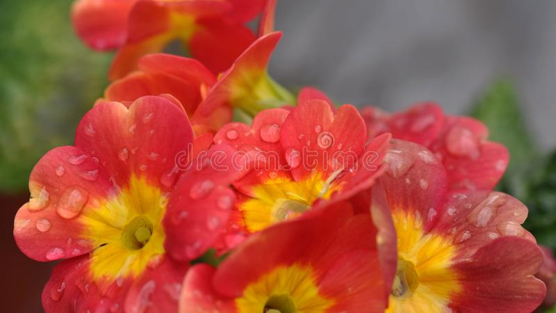 Primulablomma med vattendroppar royaltyfri fotografi