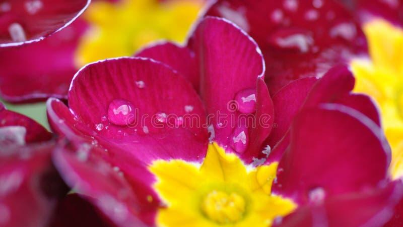 Primulablomma med vattendroppar arkivfoton