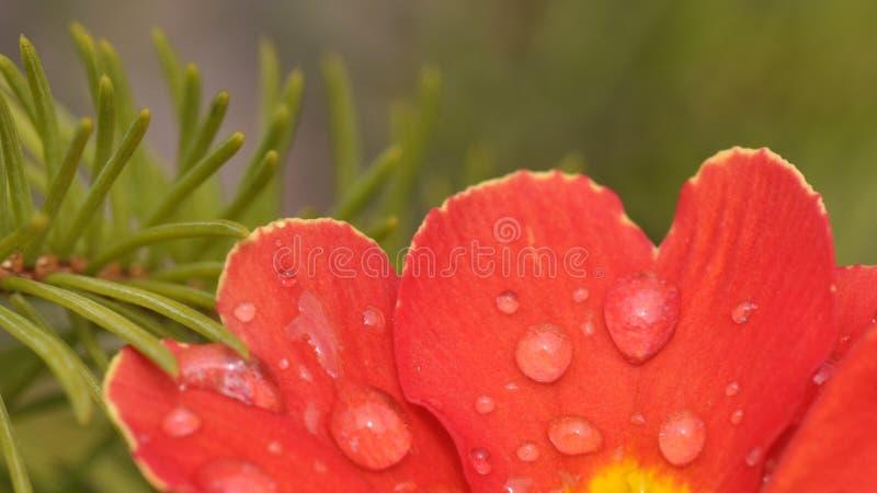 Primulablommadetalj med vattendroppar arkivfoto