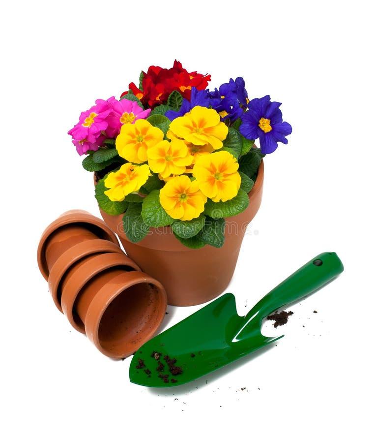 Primulablommor och gräsplanträdgårdskyffel fotografering för bildbyråer