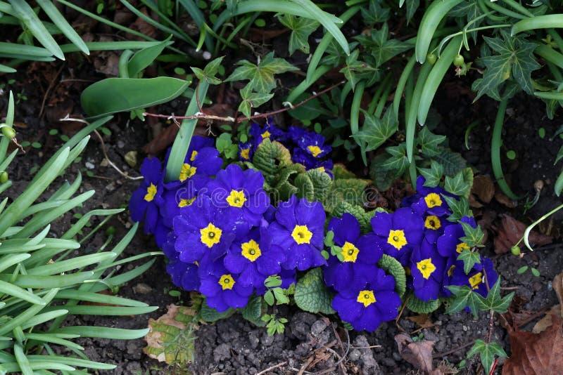PrimulaBunch晚樱草植物樱草属寻常的紫色第一朵春天花 免版税库存图片