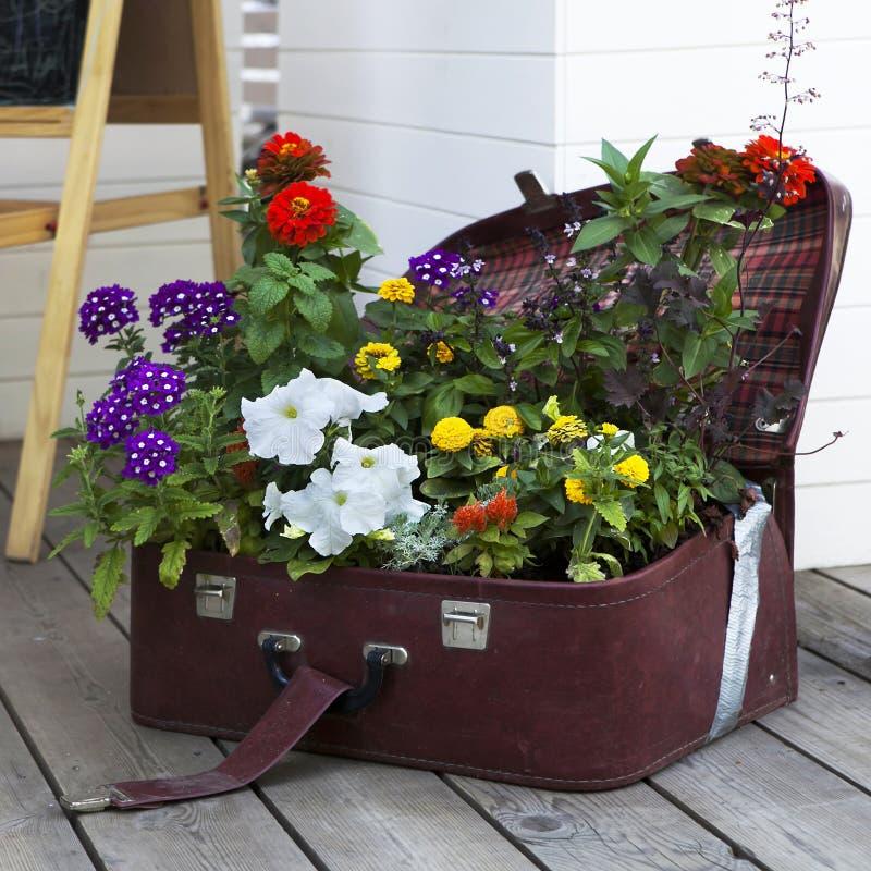 Primulas e petúnia coloridos imagem de stock royalty free